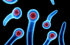 bacille Clostridium tetani maroc